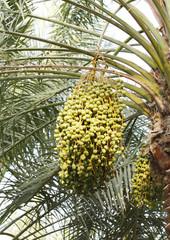 Closeup of green Kimri & khalal dates