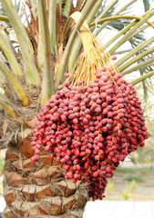 Bunch of red dates