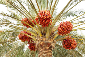 Beautiful red khalal dates in a tree
