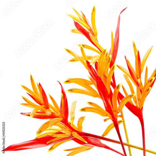 Wall mural Heliconia 'Rubra'