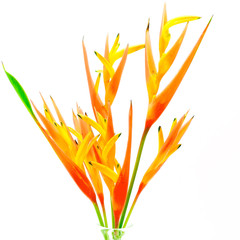Wall Mural - orange Heliconia