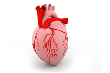 3d rendered of a human heart