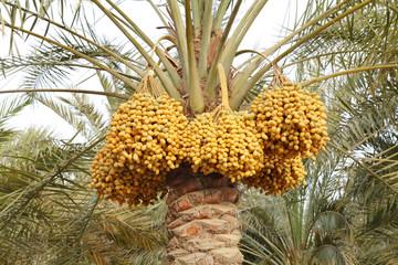 Kimri and khalal Dates clusters
