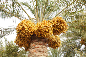 Clusters of Kimri and khalal Dates