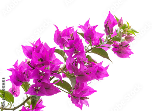 Wall mural Macro photo of bright Bougainvillea flowers isolated on white