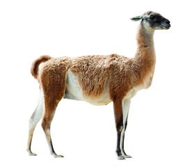 Poster Lama Full length shot of guanaco