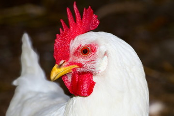 image of a white chicken poultry