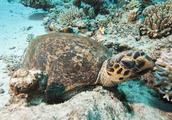Hawksbill turtle resting on the seabed