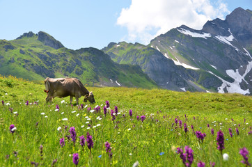 Wall Mural - Cow in an Alpine meadow. Melchsee-Frutt, Switzerland