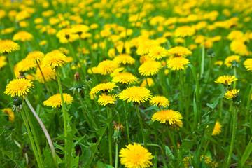Cl dandelion meadow in  summer day