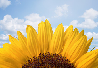 Sunflower over cloudy blue sky with copy space