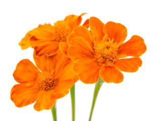 marigold isolated