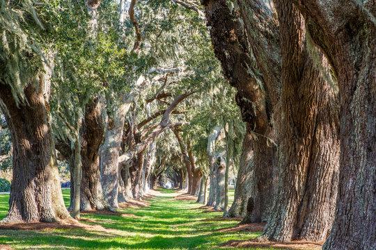Sunny Green Path Between Oak Trees