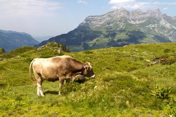 Wall Mural - Swiss cow