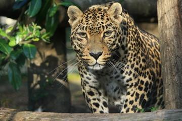 Aluminium Prints Leopard Panther ou panthère