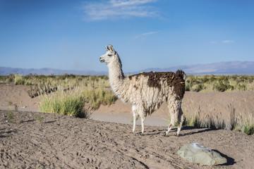 Llama in Salinas Grandes in Jujuy, Argentina.