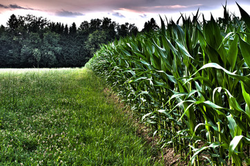 Edge of a corn field