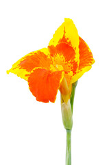 Canna flowers isolated