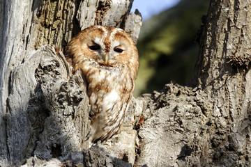Fotoväggar - Tawny owl, Strix aluco