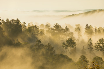 Misty hillside with pines and aspens in morning light
