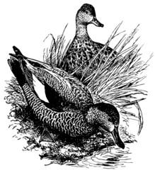 Birds Gadwall
