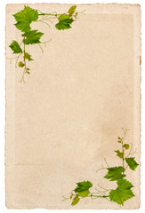 old paper sheet with vine leaves ornament isolated on white