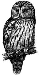 Bird Ural Owl