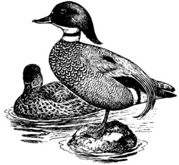 Birds Falcated Duck