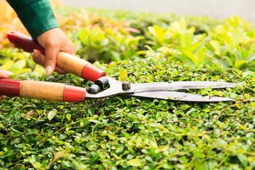 Hands cuts green bush with scissors
