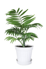 House plant Chamaedorea in a flower pot