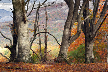 Wall Mural - tree trunks in autumn