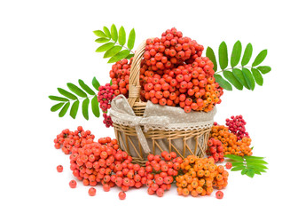 bunches of rowan in a basket on a white background