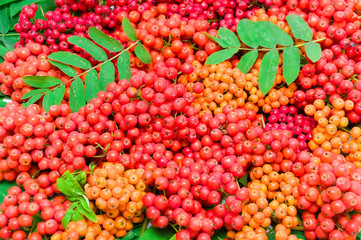 ripe bunches of rowan
