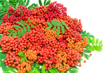 rowan berries and leaves on a white background. horizontal photo