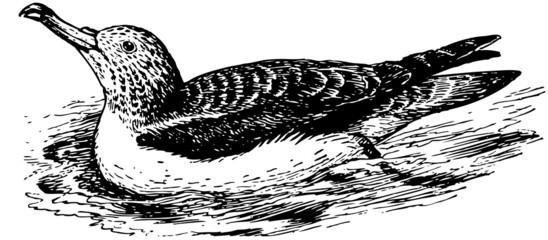 Bird Streaked Shearwater