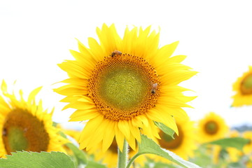 ひまわりと蜜蜂