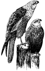 Bird Marsh Harrier