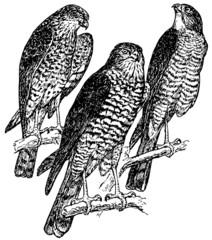 Bird Eurasian Sparrowhawk