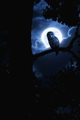 Fototapete - Owl Watches Intently Illuminated By Full Moon On Halloween