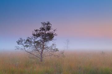 pine tree in dense fog