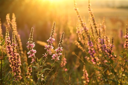 Purple loosestrife during sunset