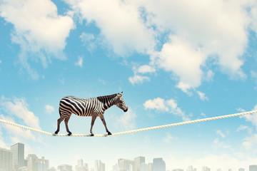 Canvas Prints Zebra Zebra walking on rope