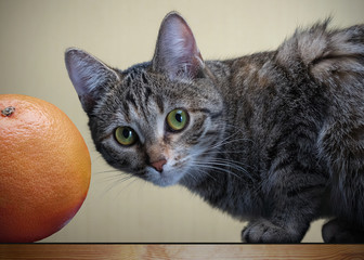 gray cat and grapefruit