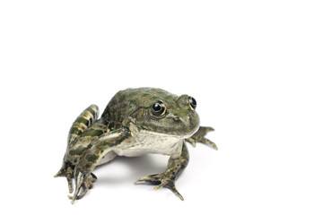 spotted marsh frog on a white background