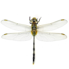 Green Tiger Skimmeri dragonfly