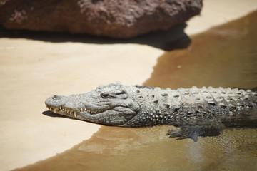 Alligator on sand