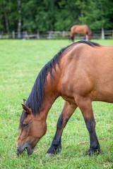 Beautiful horse grazing on field in summer