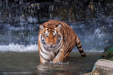 Tiger walking in water