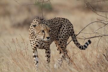 Wild cheetah walking