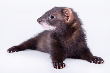 small rodent ferret Wall mural